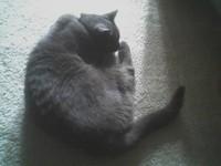Gray Cat asleep curled