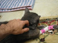 Gray Cat bandaged and being skritched