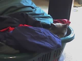 Gray Cat nestled in clean laundry