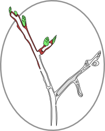 My friend, Rob Bettmann, commissioned me to design a logo for his online magazine, Bourgeon (bourgeononline.com). He suggested the them - a budding branch - and i found an image of an elm branch that i could convert, via the fantastic SVG vector-graphics editor, Inkscape, into this iconic image.